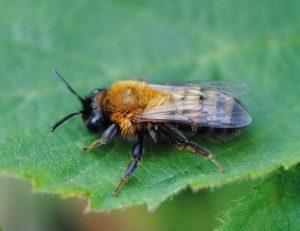 Förderung und Schutz von Wildbienen @ ZSU | Hamburg | Hamburg | Deutschland