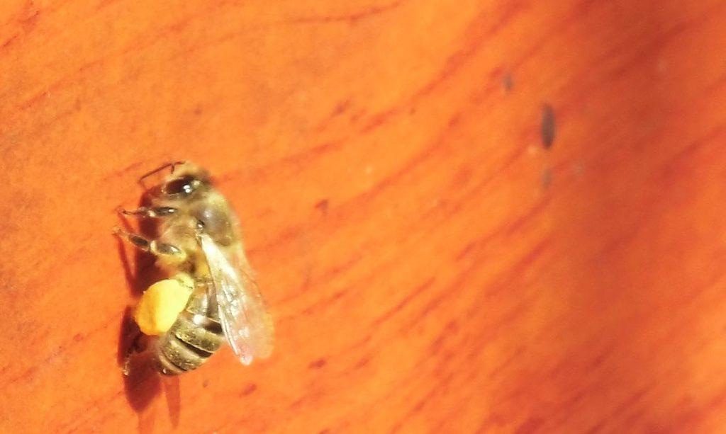 Diese Biene fand nach Hause.