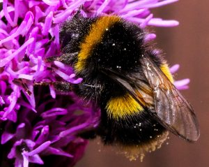 Auf den Spuren der Wildbienen: Frühlingsboten Erdhummel, Pelzbienen und Co. @ Mensa im Schulzentrum   Großhansdorf   Schleswig-Holstein   Deutschland
