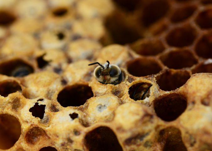 Brutwaben der Honigbiene