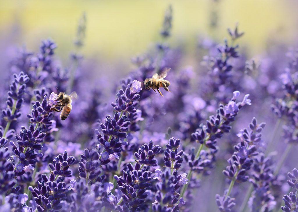 Lavendel / Lavandula angustifolia