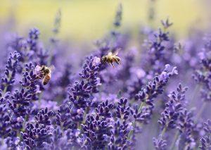 Vorbereitung des Bienenfests 2018 @ Bienenmuseum | Moorrege | Schleswig-Holstein | Deutschland