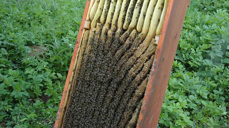 Unten Naturwabenbau, oben im Honigraum Mittelwände an mobilen Leisten