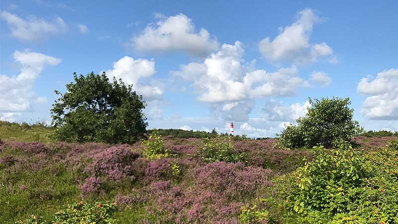 Heideflächen bieten auf Amrum viel Nektar für die Bienen