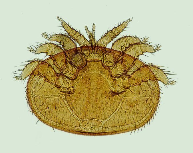 Varroa-Milbe - Lizenz des Bildes: CC0