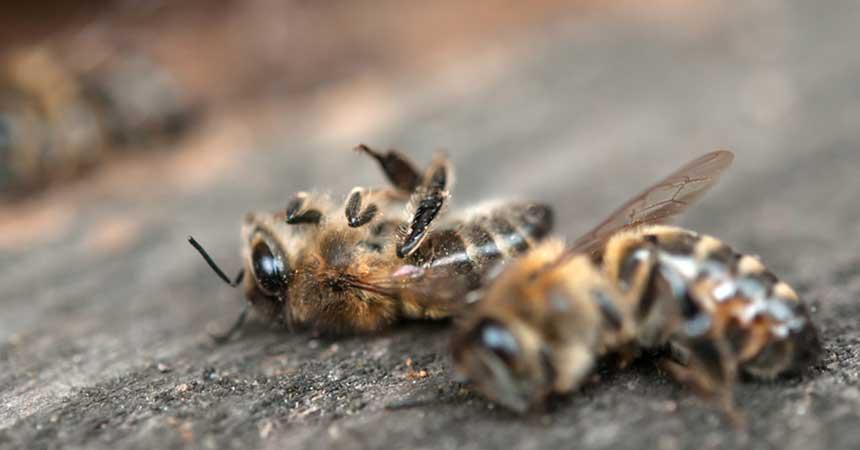 Tote Bienen am Stock @ Perytskyy/fotolia.com