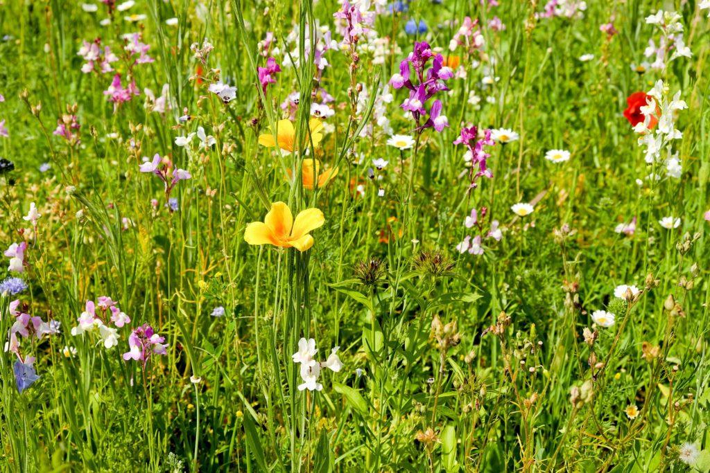 Frühlingswiese - Lizenz des Bildes: CC0