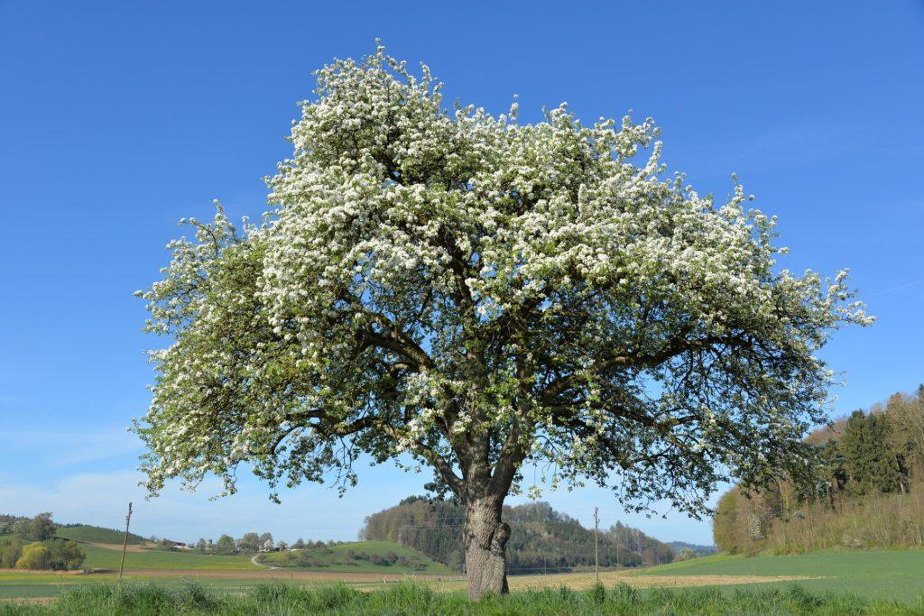 Apfelbaum in Blüte - Lizenz des Bildes: CC0