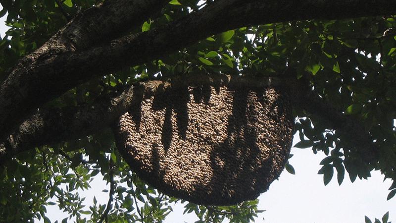 Die asiatische Riesenbiene Apis Dorsata lebt in einem Nest im Freien