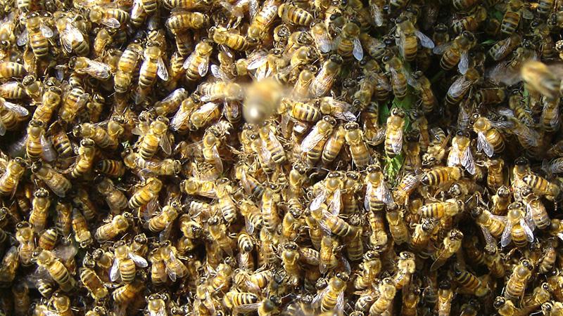 Freier Blick auf ein Bienenvolk