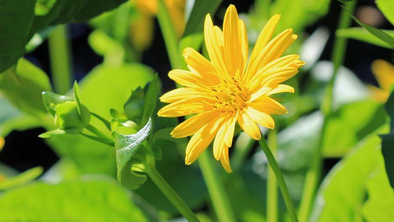 Die Durchwachsende Silphie ist als Maisersatzpflanze nutzbar.