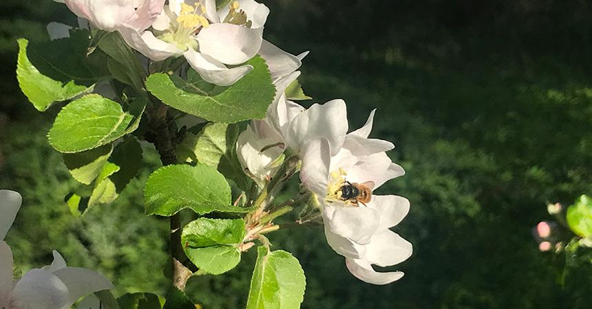 Noch ist es nicht so weit, aber in wenigen Wochen werden auch bei uns die Apfelbäume blühen