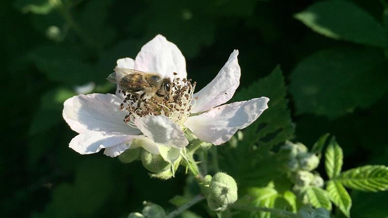 Bienen lieben die Brombeerblüte im Frühsommer