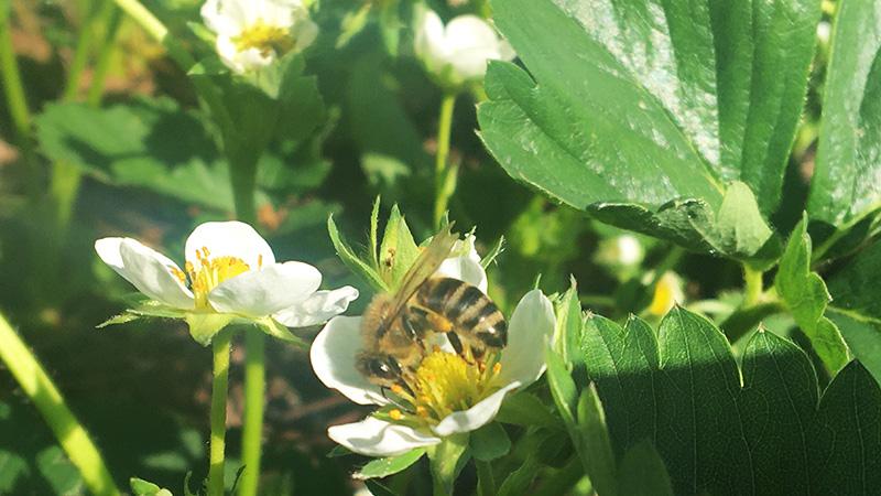 Wissenschaftler haben sogar herausgefunden, dass Erdbeeren besser werden, wenn ihre Blüten von Bienen bestäubt wurden.