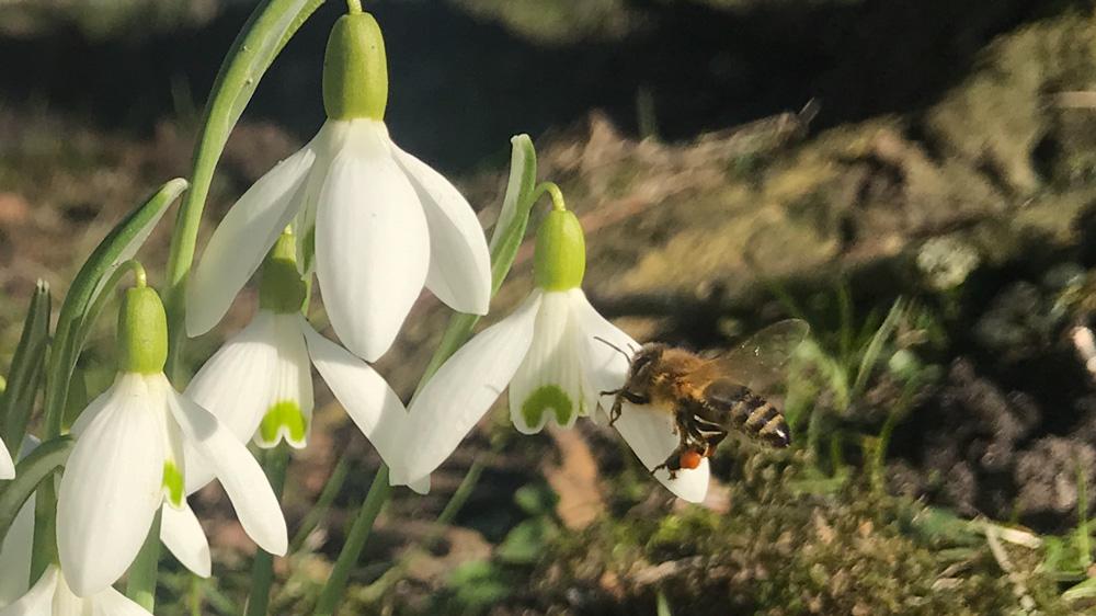 Kommen die ersten warmen Tage, freuen sich die Bienen über die Schneeglöckchen. Deutlich sieht man kleine Pollenkugeln an den Beinen. Einen Teil der Pollen nehmen die Bienen mit als Kraftfutter für ihre Jungen.