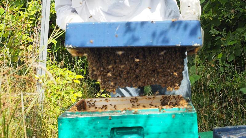 Ende gut, alles gut. Die Bienen kleben am Deckel und warten auf Rähmchen mit Mittelwänden und vor allem Futtersirup – Foto: Damaske